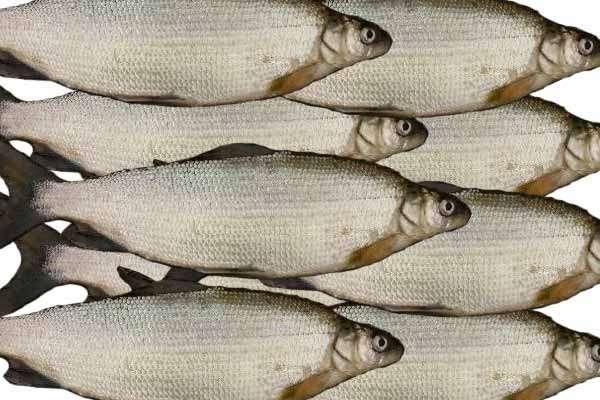 рыба заражена ли