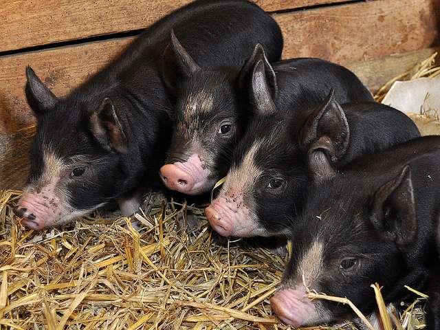 свиньй с глистами