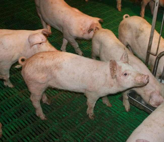 паразиты у свиней