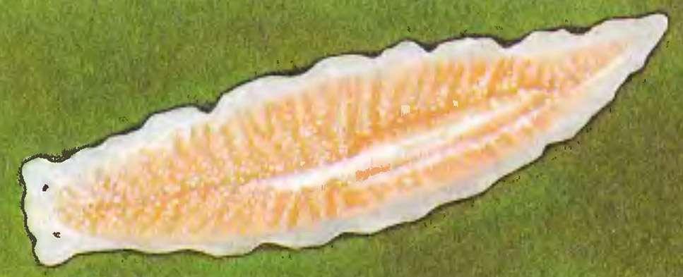 белая планария
