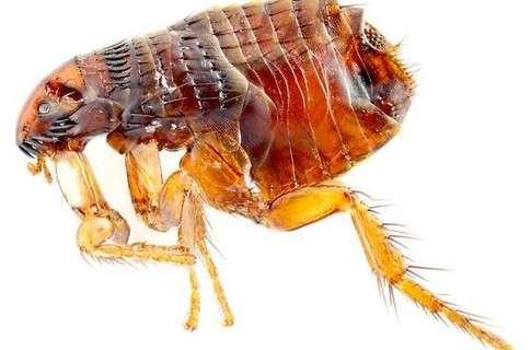 блоха паразит