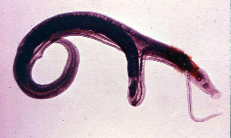 шистосома трематод
