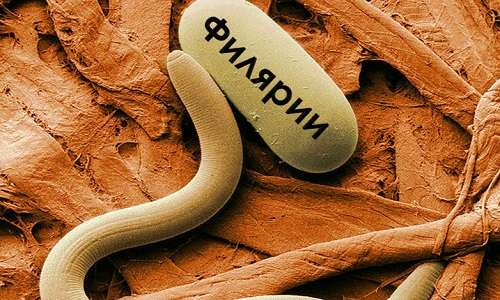 паразиты филярии