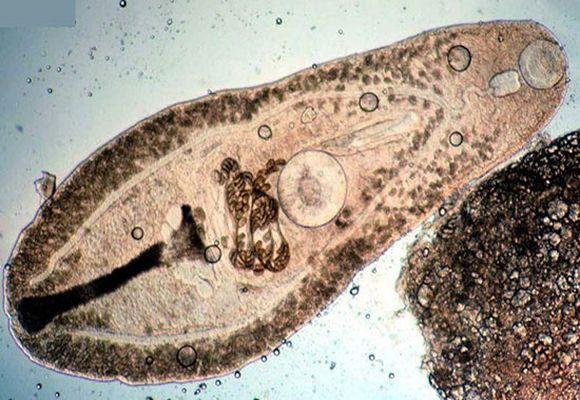 глисты под микроскопом