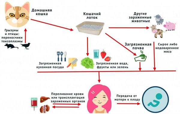 пути передачи токсоплазмоза