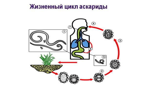 цикл аскариды