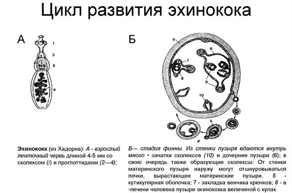 цикл развития эхинококка