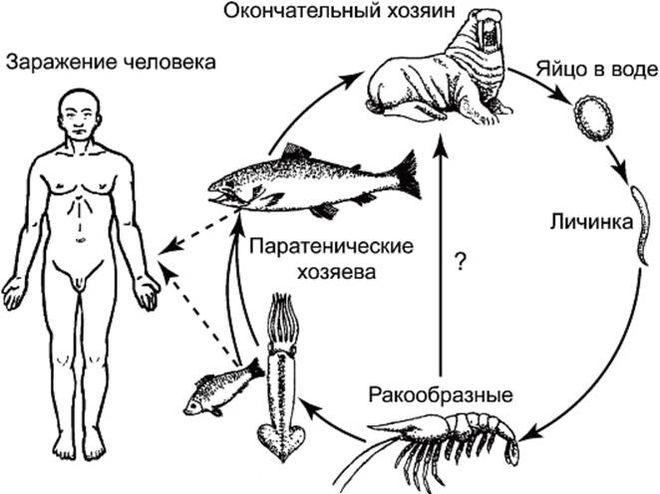 Цикл развития анизакидов