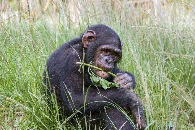Шимпанзе ест траву